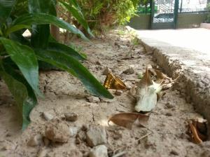 2 de junio-Benidorm Un anillo de atrezzo estaba debajo de unos matorrales en una urbanización de pisos.